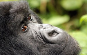 Save on gorilla permits and Accommodation in Uganda