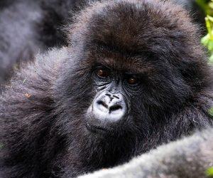 3 Day Gorilla Safari +Golden Monkey Tracking Rwanda