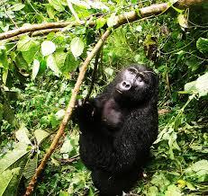 Book 2016-2017 gorilla tracking permits