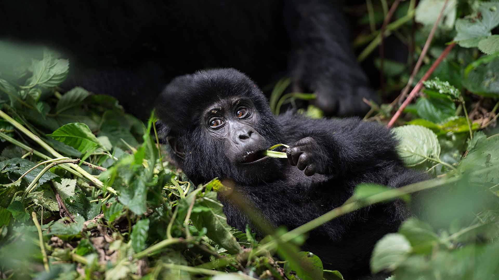 gorilla-tracking-uganda-rwanda