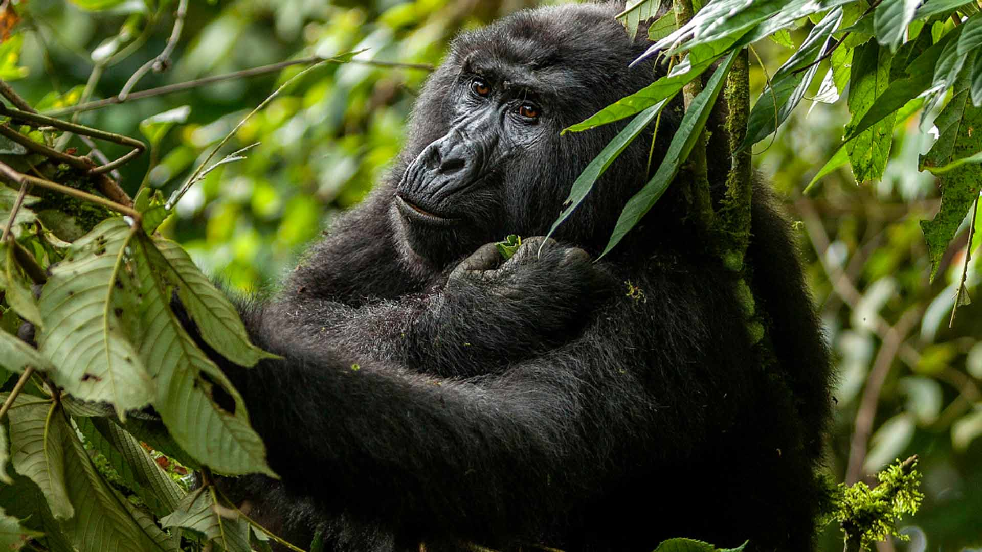 Gorilla and chimp trekking experience compared