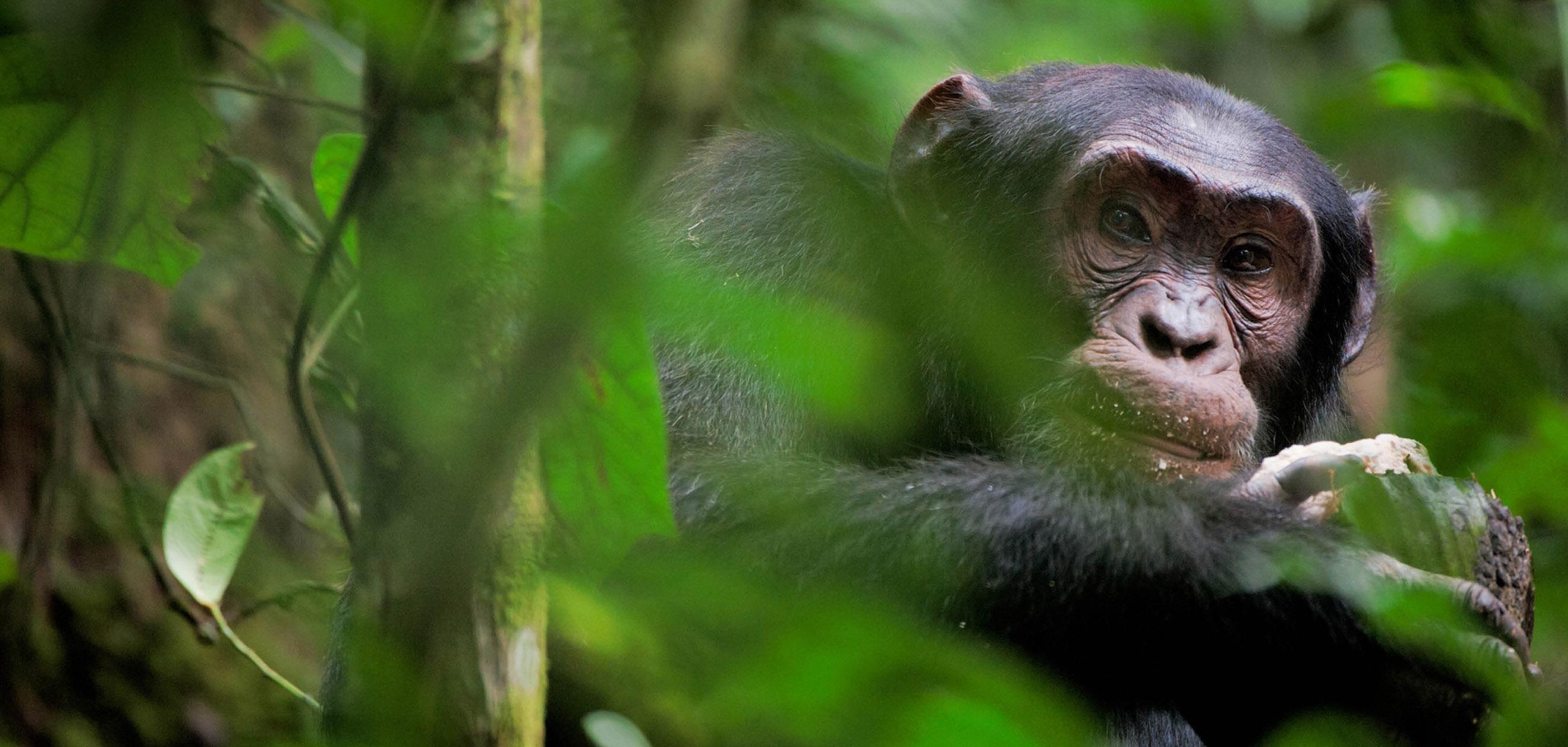 Congo-chimpanzee-tracking