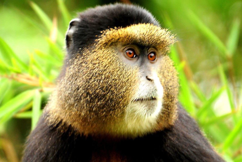 The Golden Monkey