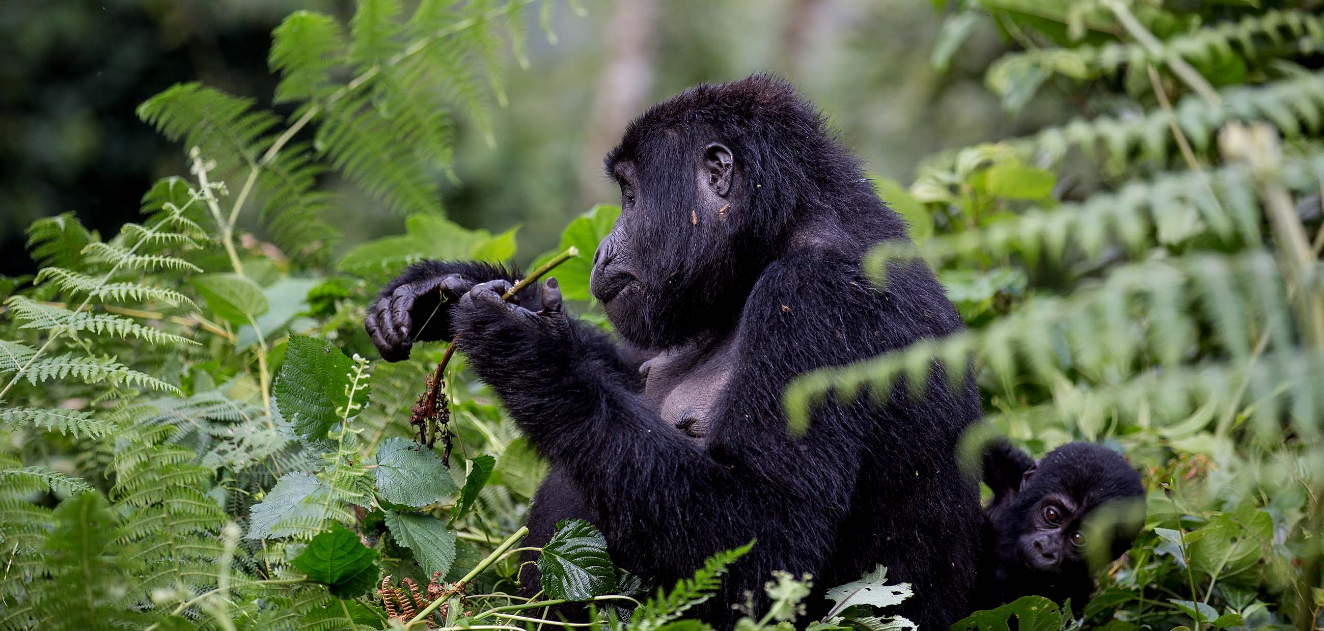 gorilla-tracking-uganda-rwanda-tracking-gorilla-bwind-and-mgahinga-park