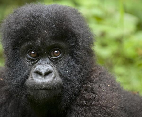 Fly to Rwanda Kigali and Track Gorillas in Uganda Bwindi Impenetrable-Forest