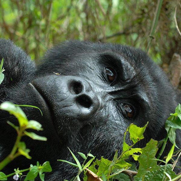 Fly to Rwanda Kigali and Track Gorillas in Uganda-Bwindi Impenetrable Forest