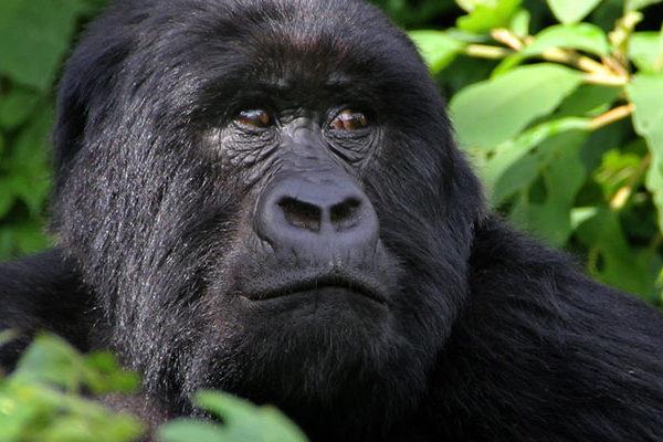 2017-2018 Gorilla Habituation Experience-Rushaga Bwindi Gorillas-Uganda