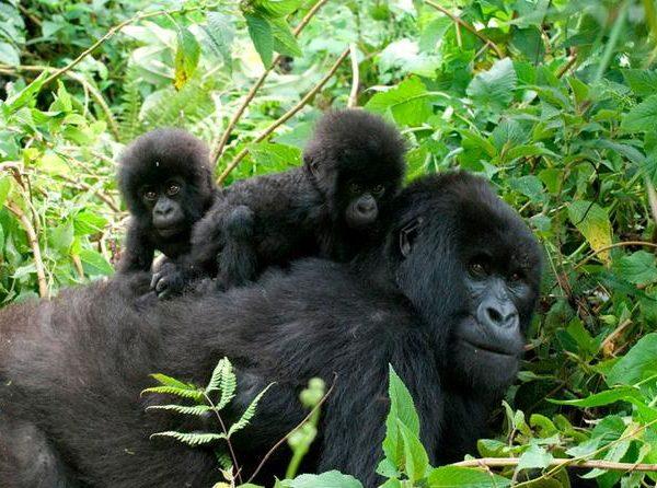 2017-2018 Gorilla Habituation-Experience Rushaga Bwindi Gorillas-Uganda