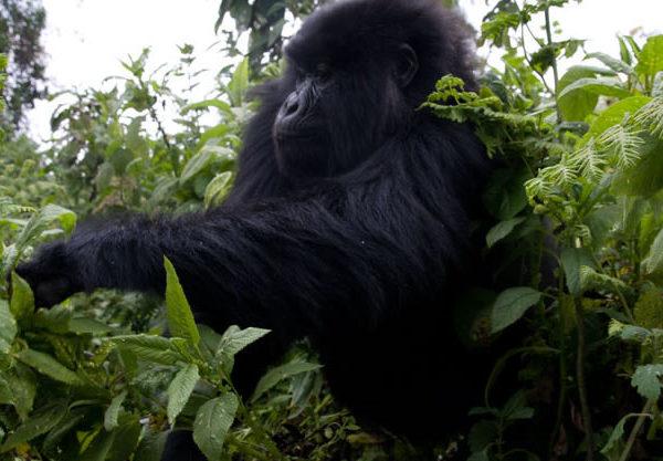2017-2018 Gorilla-Habituation Experience Rushaga Bwindi Gorillas-Uganda