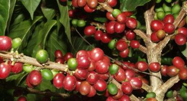 Gorilla Trekking Safaris Uganda-Coffee Tours Kisoro Community Visiting
