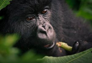 Gorilla Filming Virunga National Park DR-Congo Safaris