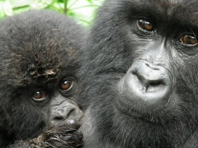Gorilla Filming Virunga National Park DR-Congo-Safaris
