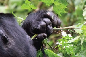 Uganda Gorilla-Trekking Bwindi Forest Nature Walk Safari