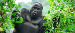 Gorilla Tracking Permits Prices Uganda Rwanda Congo