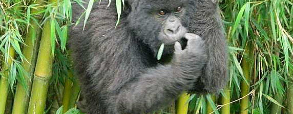 Uganda Gorilla Tracking Permit Price Rwanda Gorilla Trekking Cost